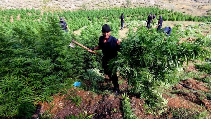 Albanian Police Cutting Down Cannabis Plantation